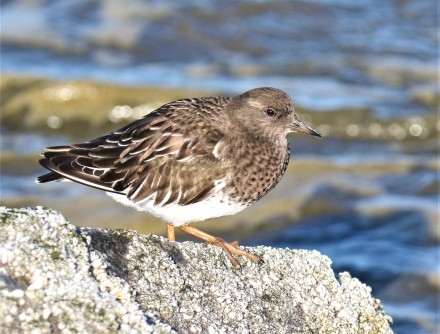 Black Turnstone11.30