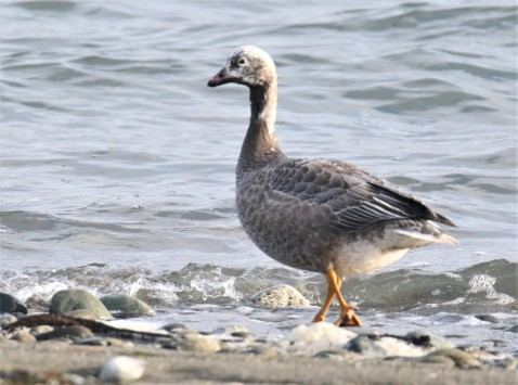 Emperor Goose1