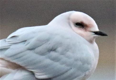 Gull Face