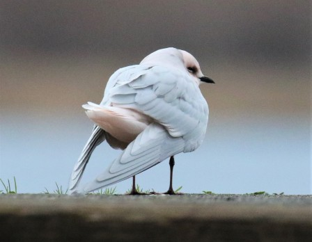 Ross's Gull Back