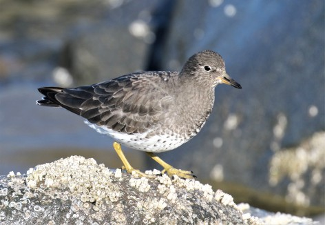 Surfbird11.30Best.jpg