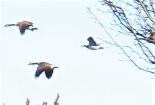 Barnacle Goose in Flight (2)