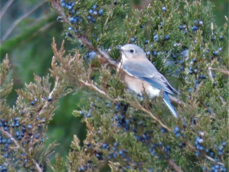 Eastern Bluebird2