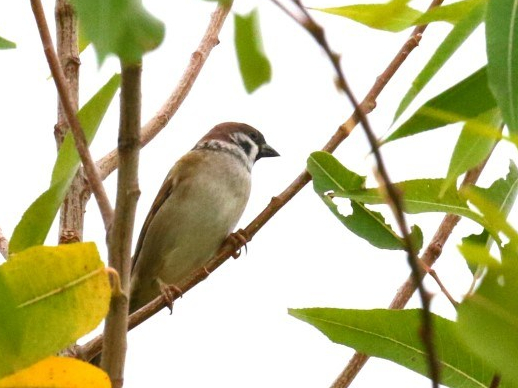 eurasian-tree-sparrow.jpg