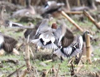 Eurasian Wigeon Getaway