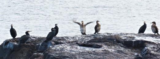 Great Cormorants on Rock