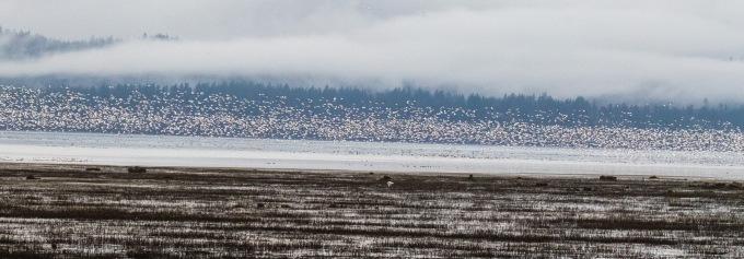 Snow Geese1
