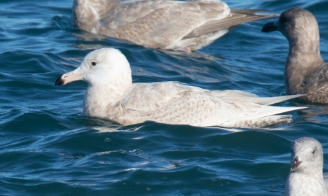 Glaucous Gull in Water