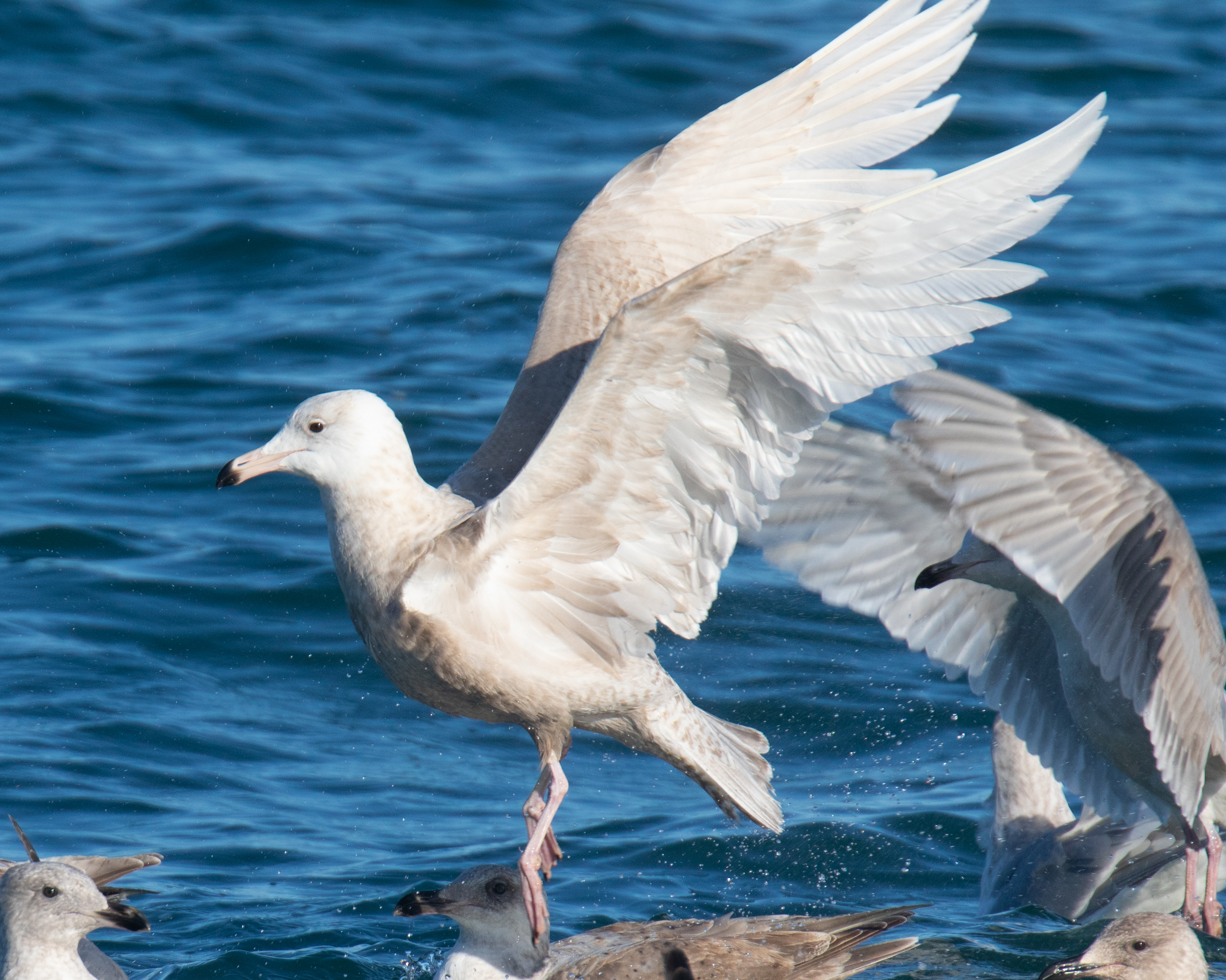 Glaucous Gull Takeoff