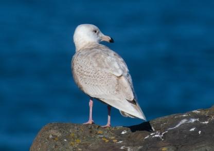 Glaucous Gull1r