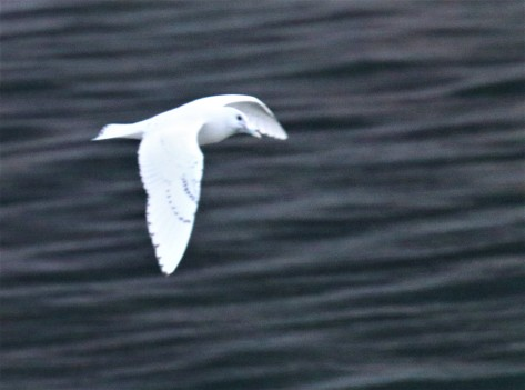 Ivory Gull Flight2