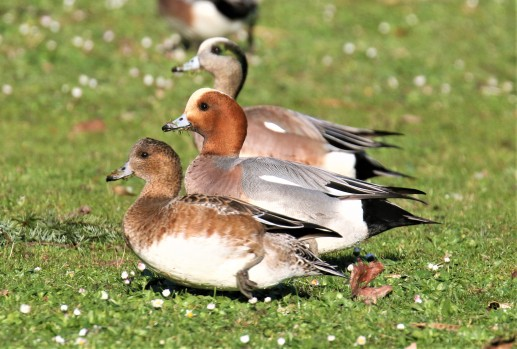 Three Wigeons