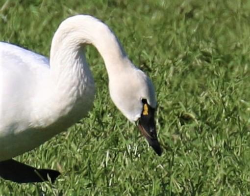 Tundra Swan Head