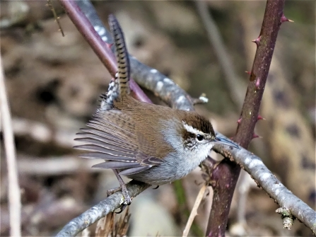 Bewicks Wren1-sharpen-focus