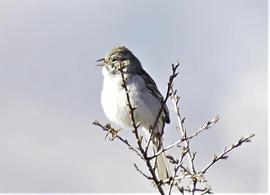 Brewer's Sparrow-sharpen-focus