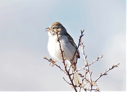 Brewer's Sparrow-sharpen-focus