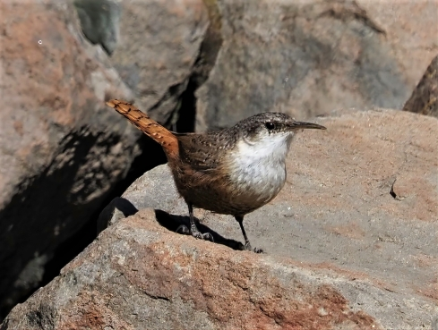 Canyon Wren Best-sharpen-focus