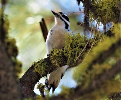 Hairy Woodpecker Wenas