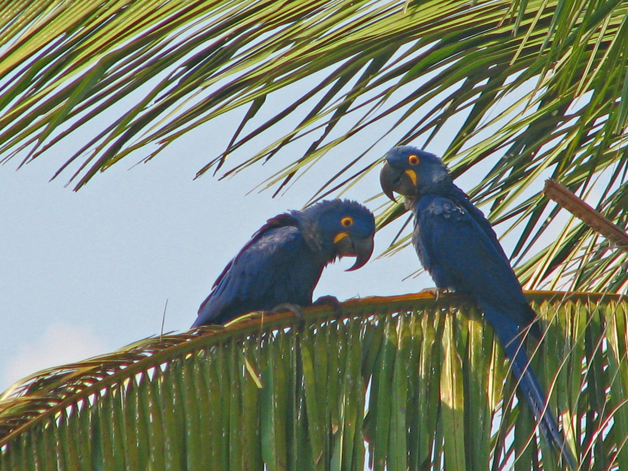 Hyacinth macaws 3r