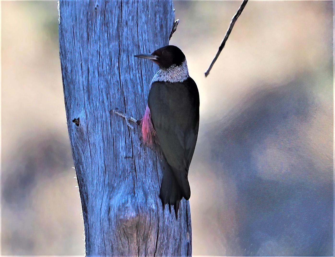 Lewis's Woodpecker-sharpen-focus (2)