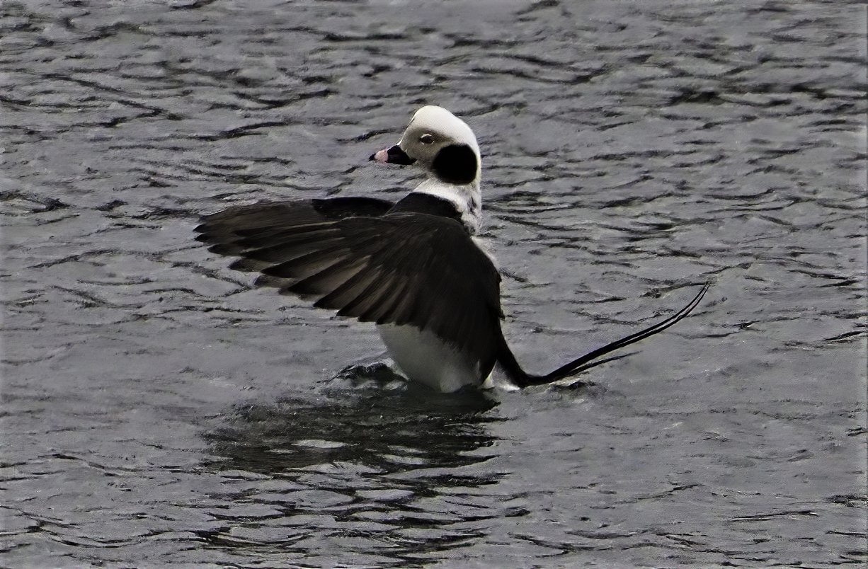 Long Tailed Duck4A
