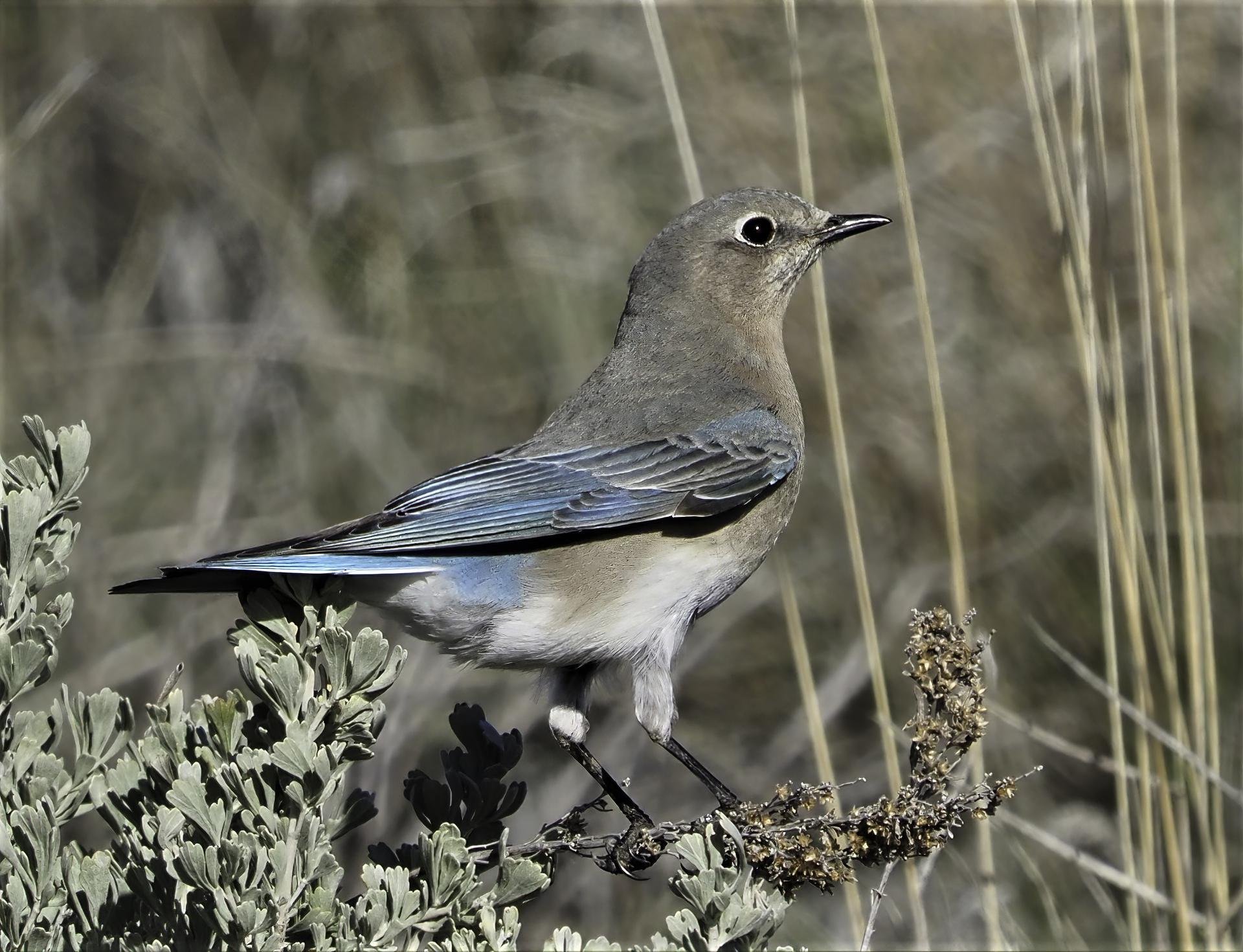 Mountain Bluebird Female-sharpen-sharpen