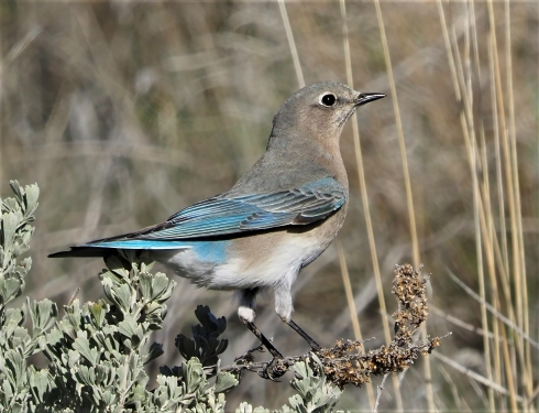 Mountain Bluebird Female-sharpen-sharpen