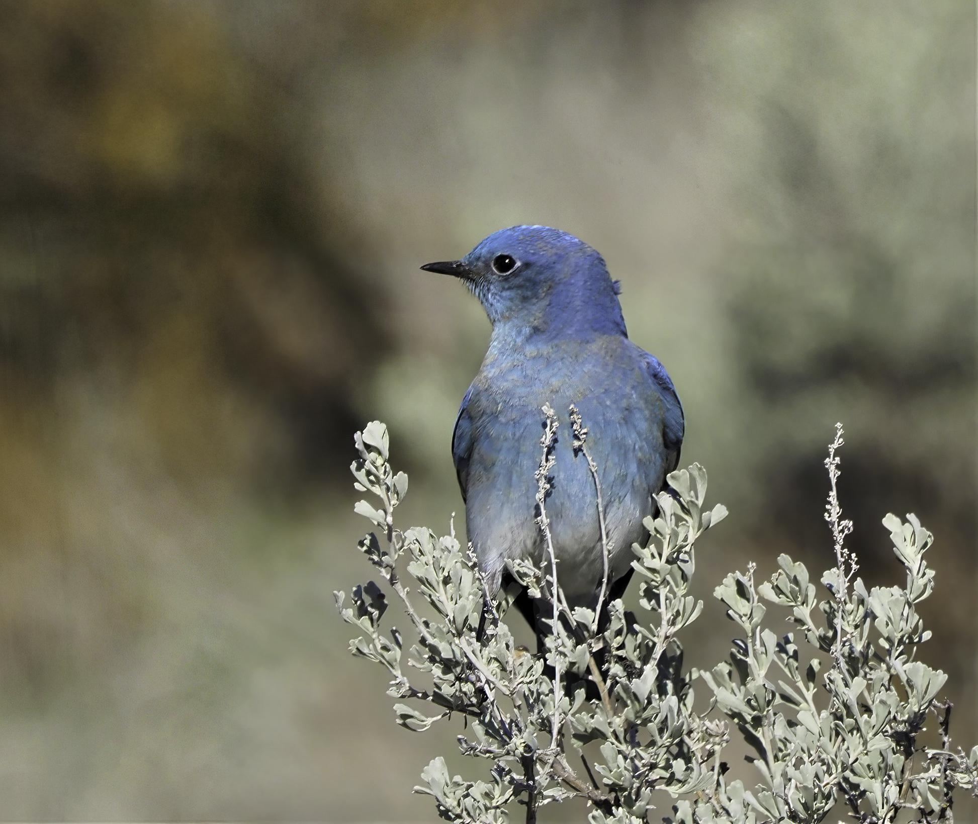 Mountain Bluebird on Sage-sharpen-focus-sharpen-focus