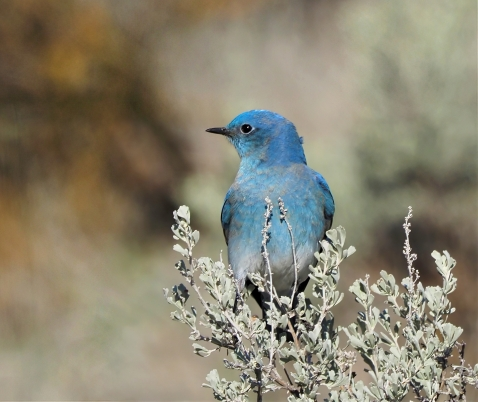 Mountain Bluebird on Sage-sharpen-focus-sharpen-focus