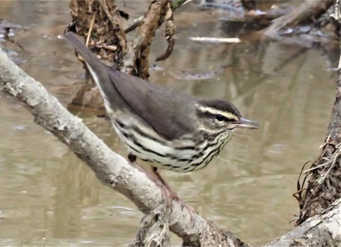 Northern Waterthrush4