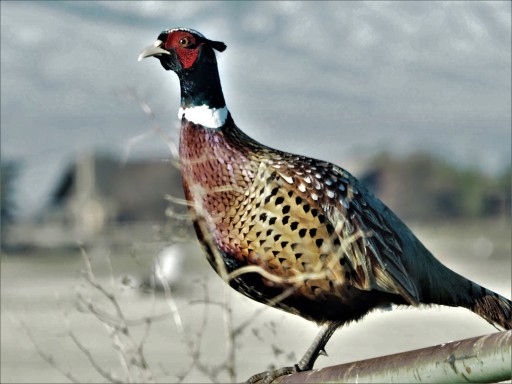 Ring Necked Pheasant1 (2)