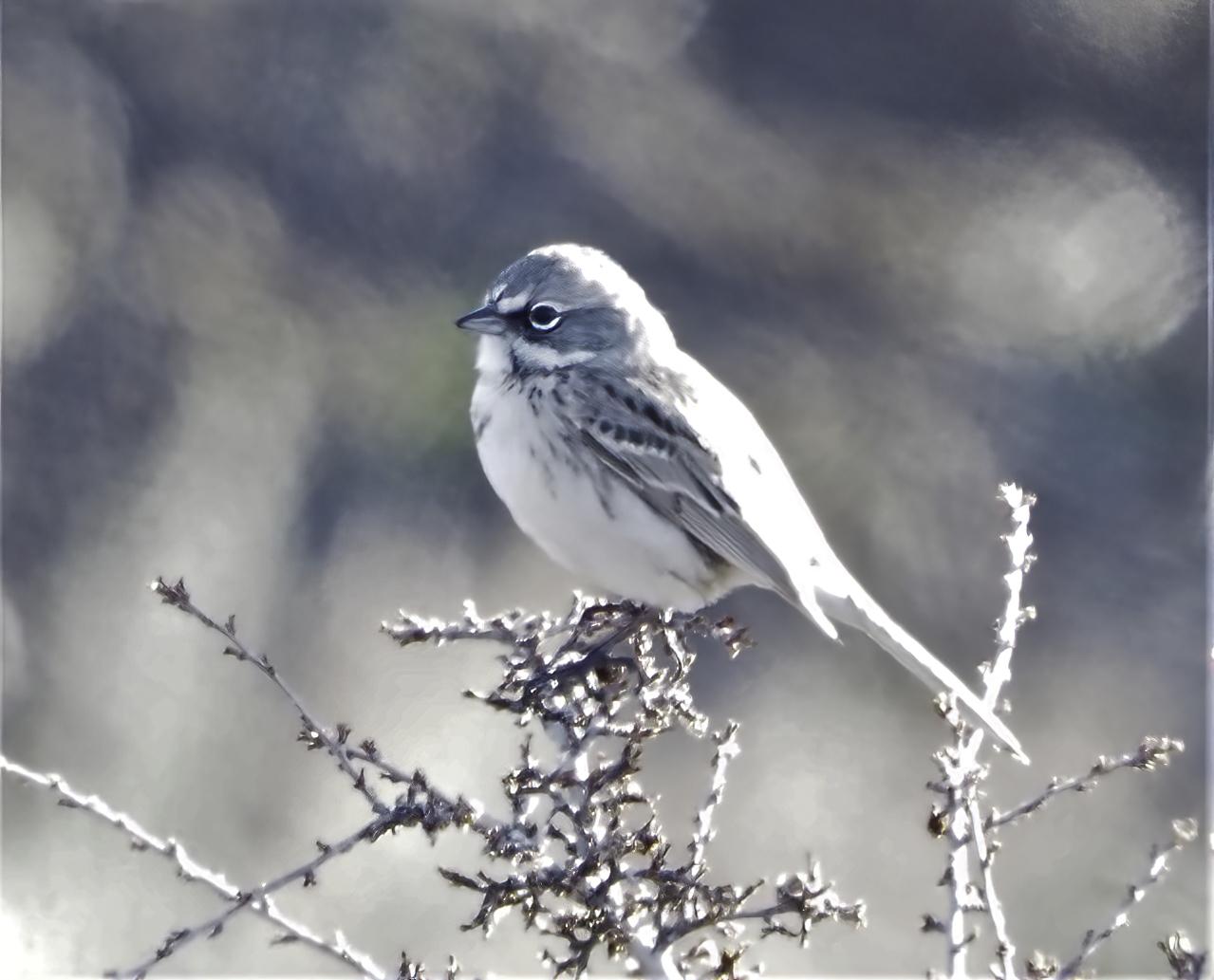 Sagebrush Sparrow2-sharpen-focus