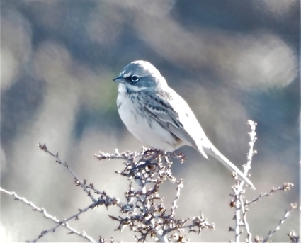 Sagebrush Sparrow2-sharpen-focus