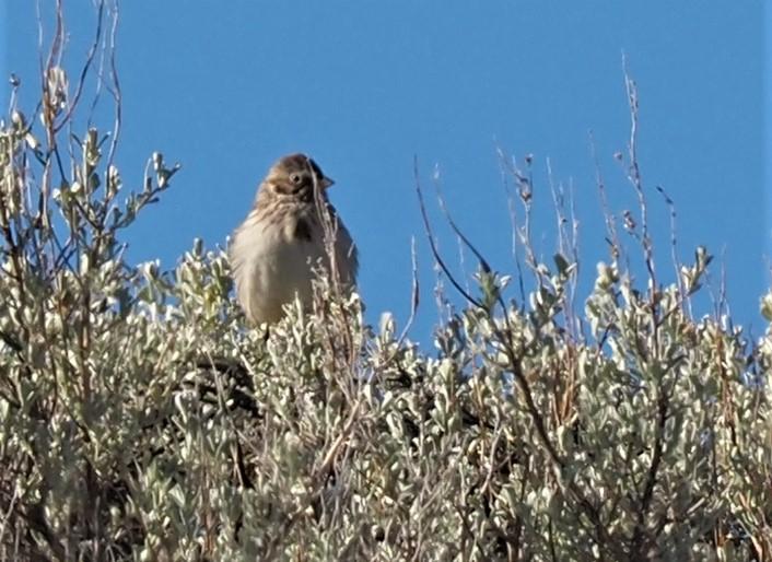 Vesper Sparrow Quilomene