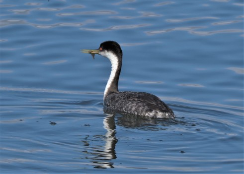 Western Grebe with Fish1