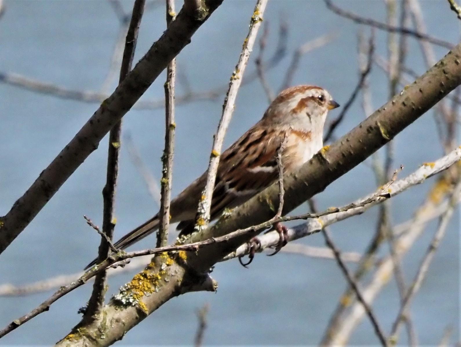 American Tree Sparrow2