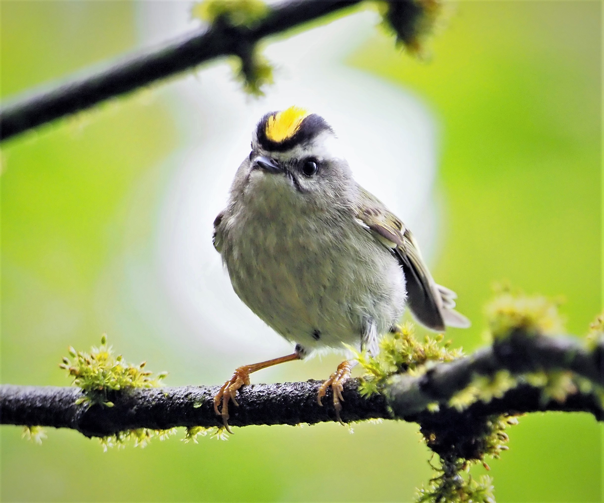 Golden Crowned Kinglet1