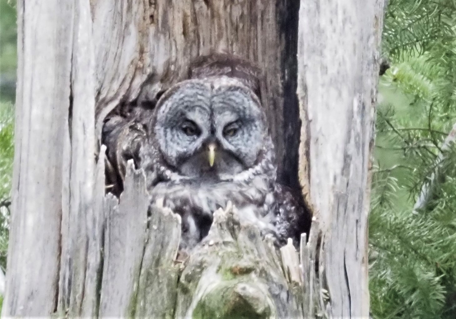 Great Gray Owl on Nest1