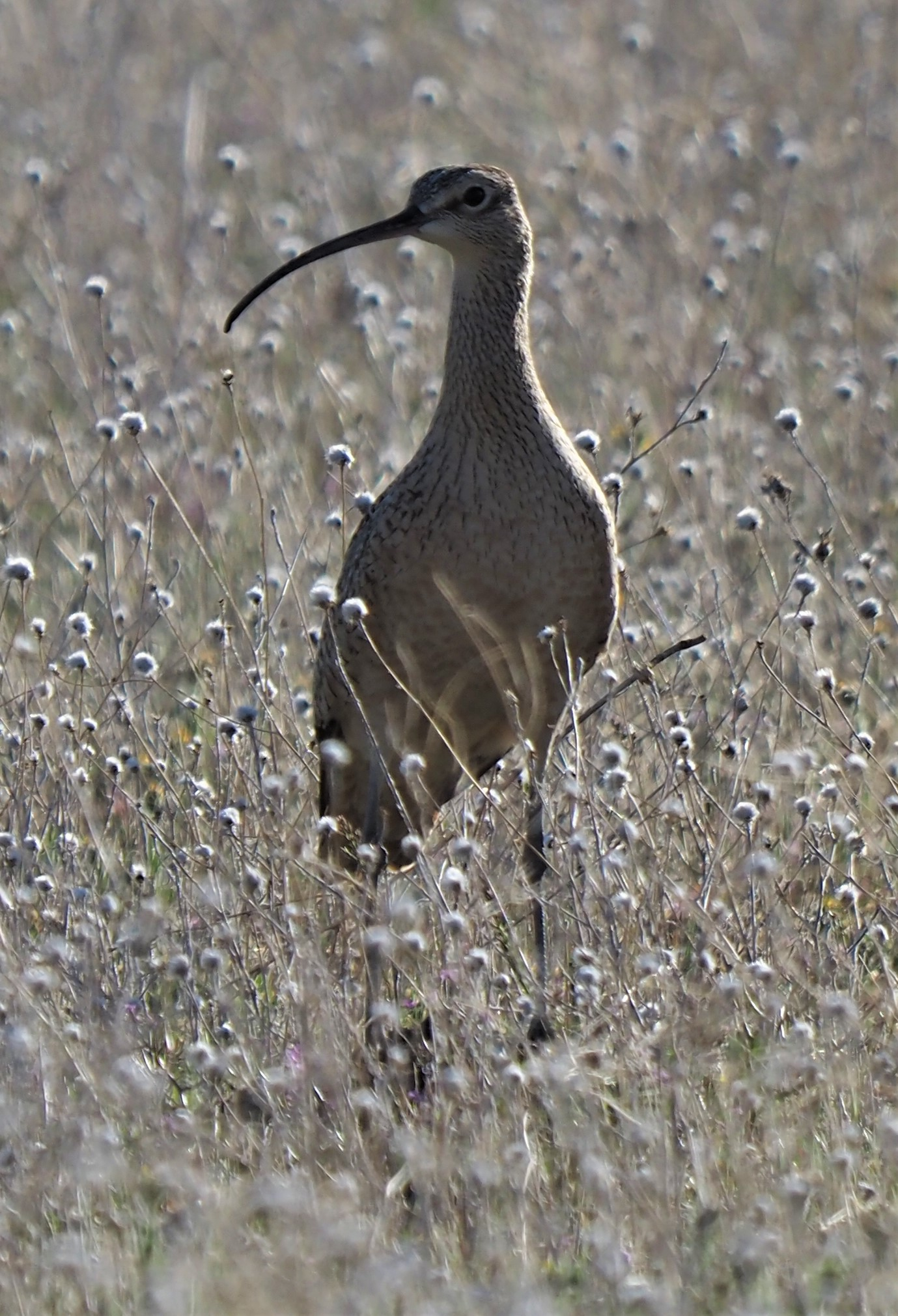 Long Billed Curlew2