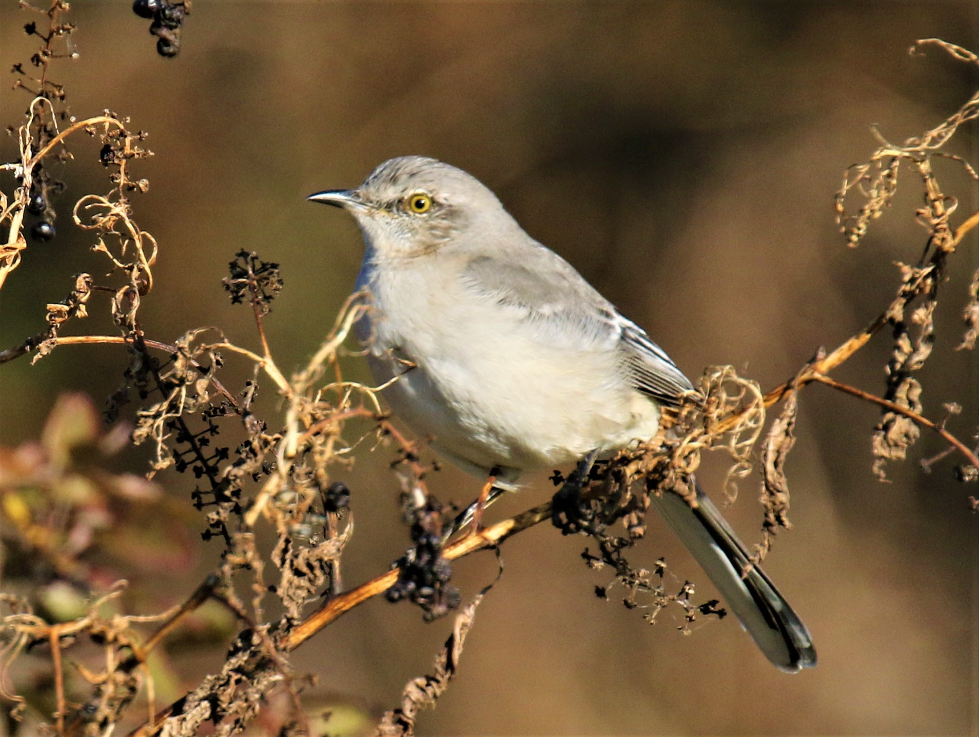 Northern Mockingbird1