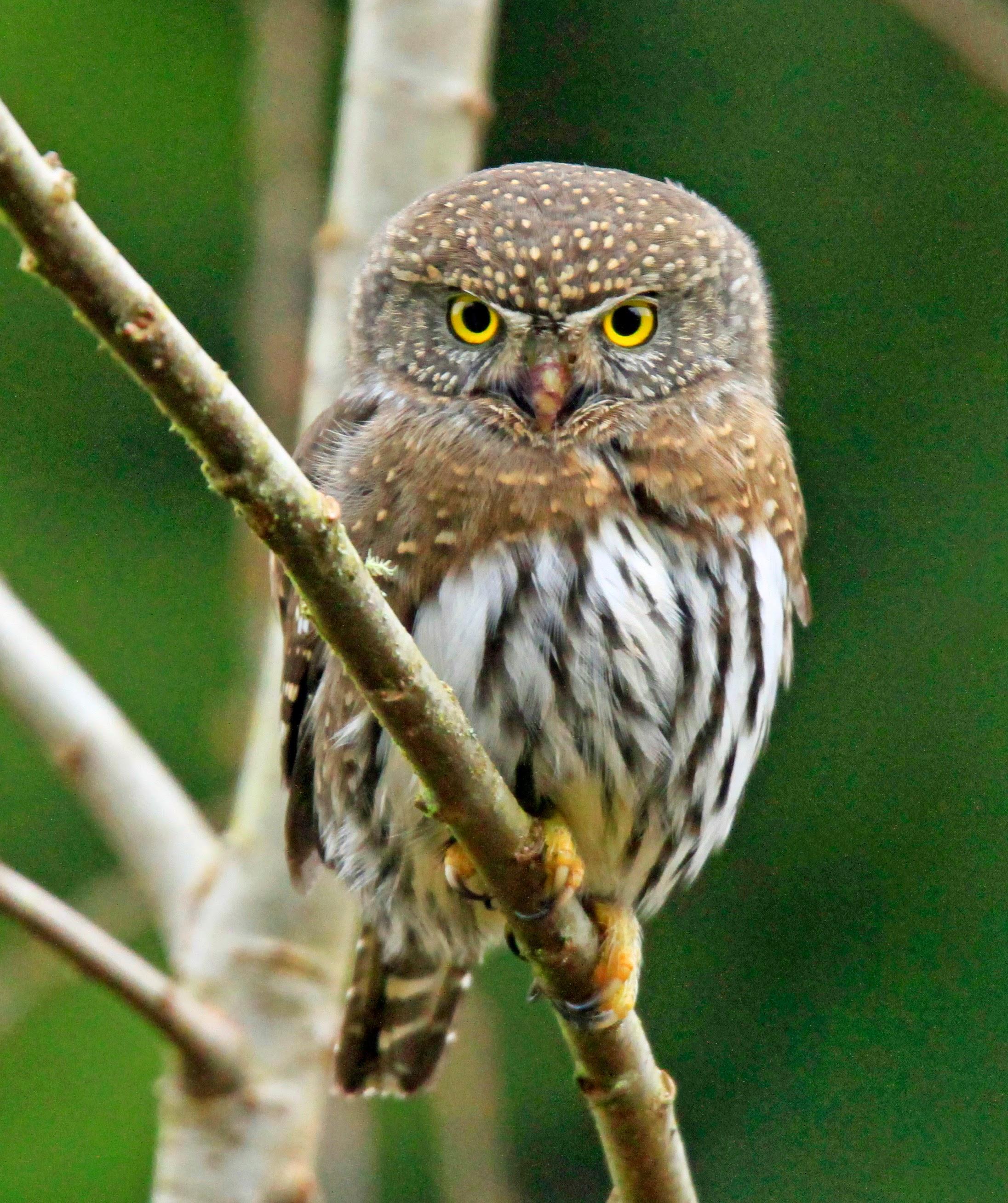 Northern Pygmy Owl2