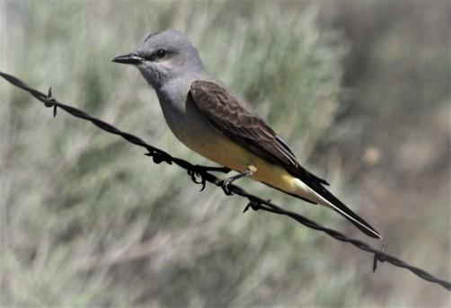Western Kingbird (2)
