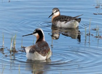 Wilson's Phalaropes Pair (2)