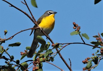 Yellow Breasted Chat2