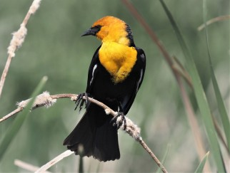 Yellow Headed Blackbird (2)