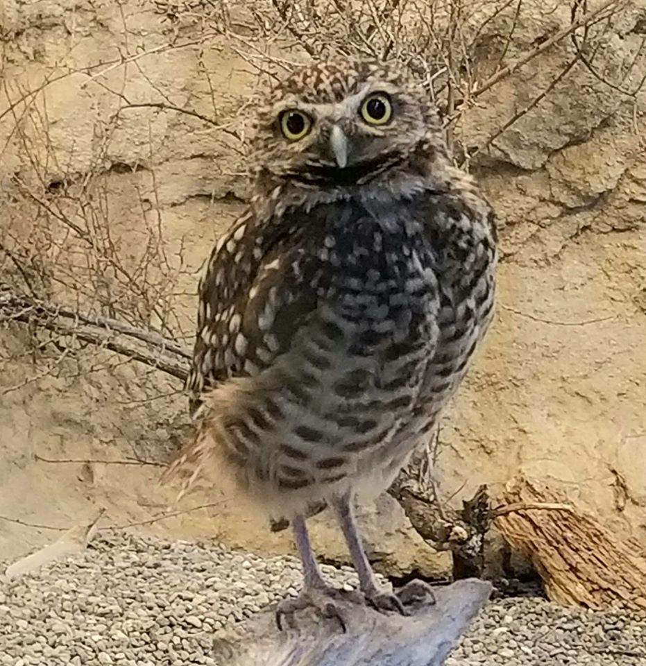Burrowing Owl Oregon
