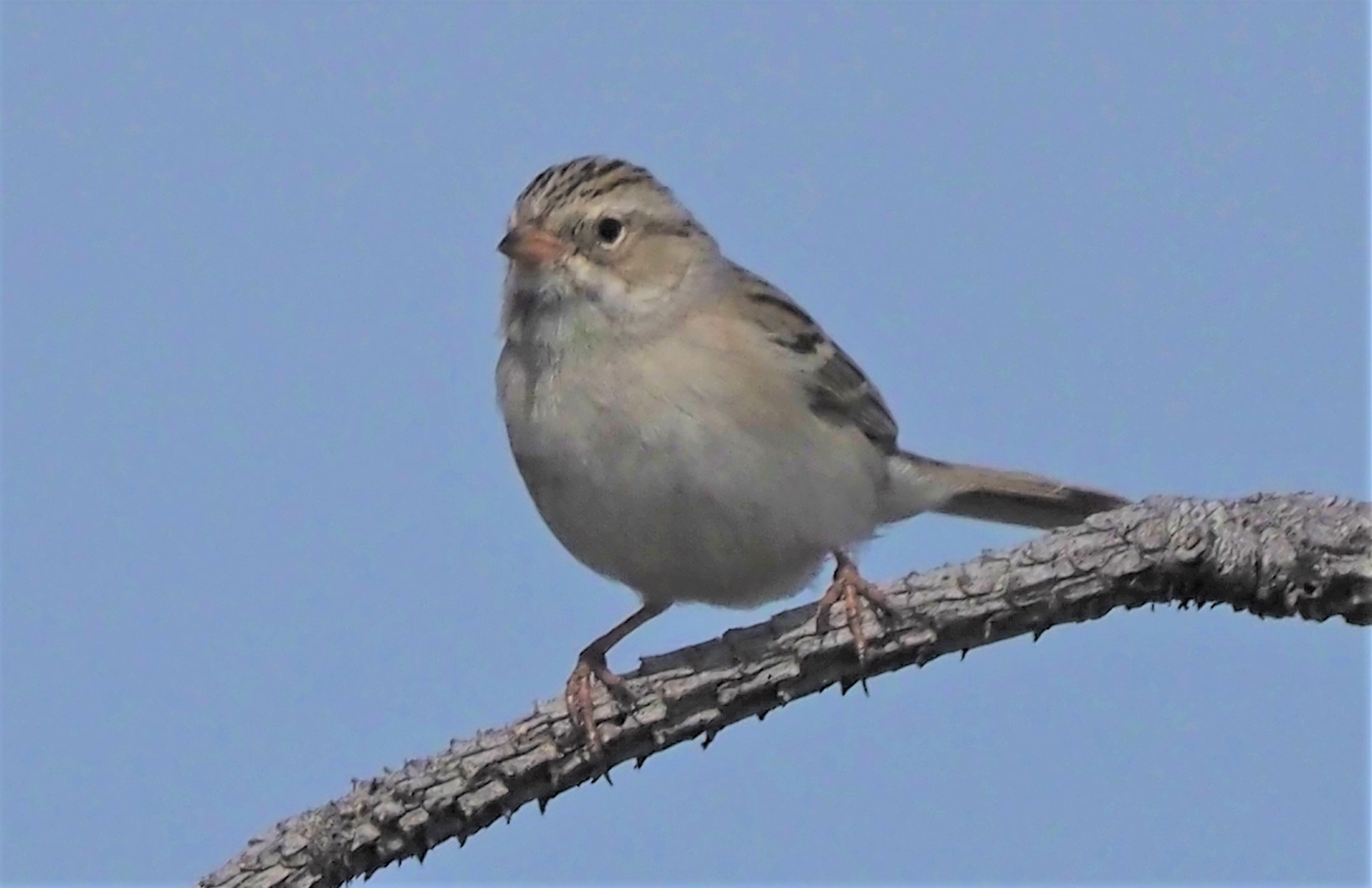 Clay Colored Sparrow1 (2)