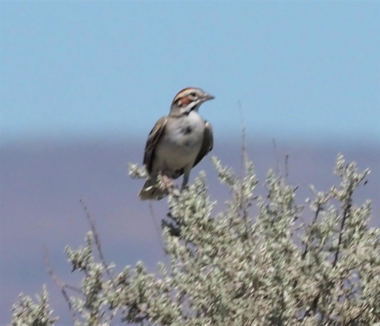 Lark Sparrow3