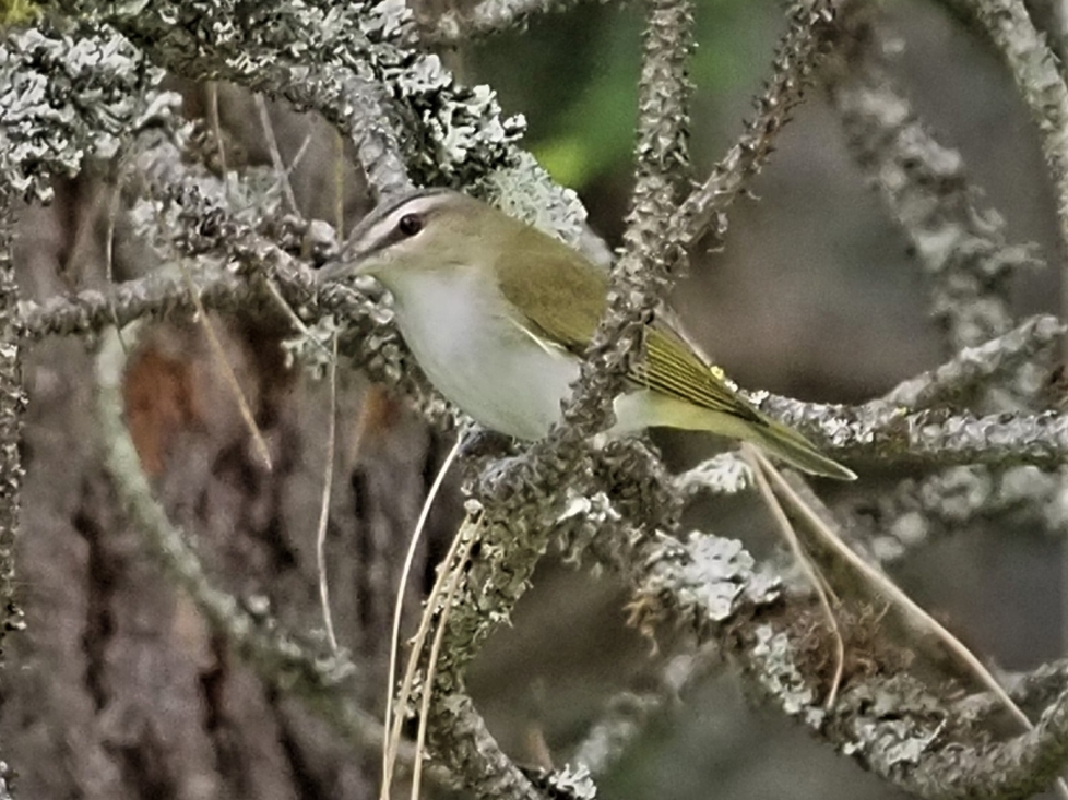 Red Eyed Vireo1