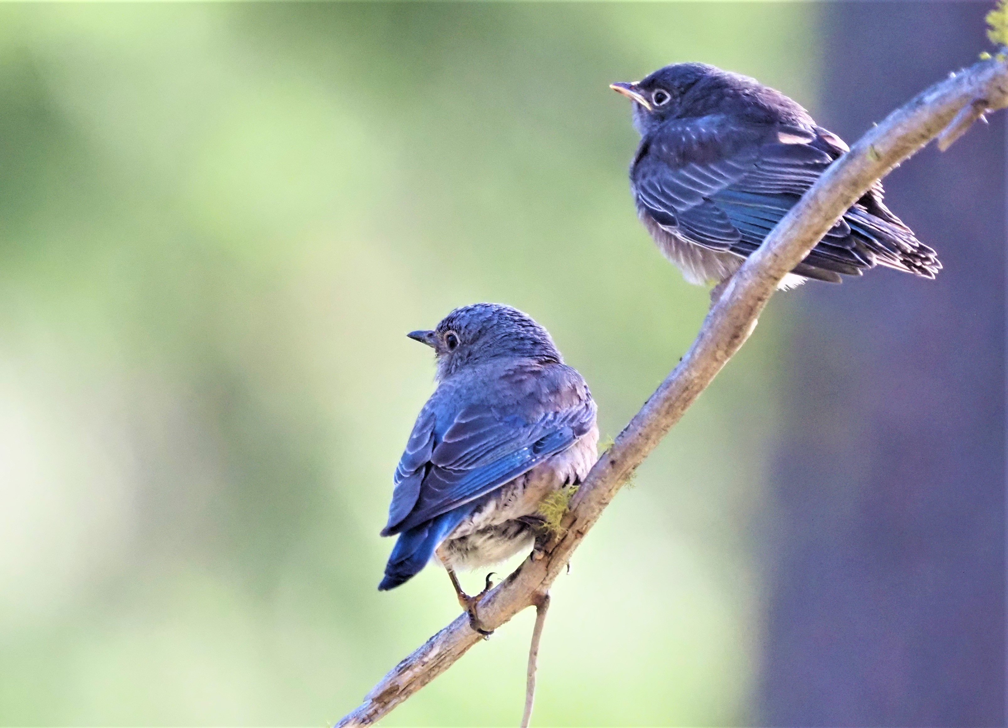 Two Western Bluebirds